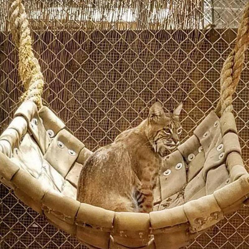 Bobcat in her hammock